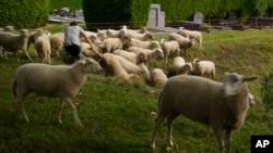 Penggembala domba Belgia Lukas Janssens merawat kawanan dombanya di pemakaman Schoonselhof di Hoboken, Belgia, Jumat, 13 Agustus 2021. (AP Photo/Virginia Mayo)