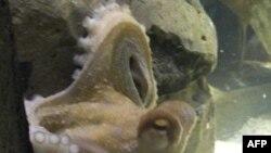 Con bạch tuộc có sức mạnh tâm linh, Paul