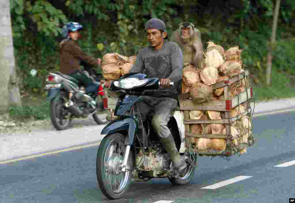 A man rides a motorbike loaded with coconuts with his pig-tailed macaque in Sawah Lunto, West Sumatra, Indonesia.