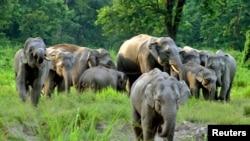 印度的野生象群