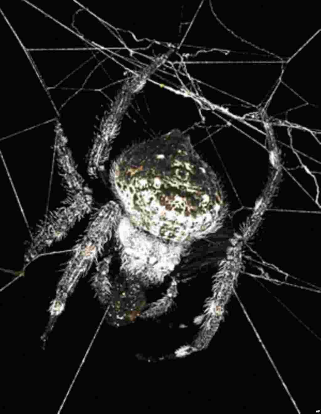This spider from Madagascar spins durable webs that can span rivers, streams and lakes. (M. Kuntner)
