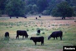 미국 미주리주의 들판에서 젖소들이 풀을 뜯고 있다.