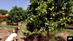 "In this April 2016 photo provided by the United States Department of Agriculture, detector canine ""Bello"" works in a citrus orchard in Texas, searching for citrus greening disease, a bacteria that is spread by a tiny insect that feeds on citrus trees. (Gavin Poole/USDA via AP)"