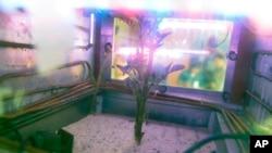 En esta foto del 16 de marzo de 2017, una planta de papa crece dentro de un simulador de Marte en Lima, Perú. El simulador imita las duras condiciones encontradas en Marte.