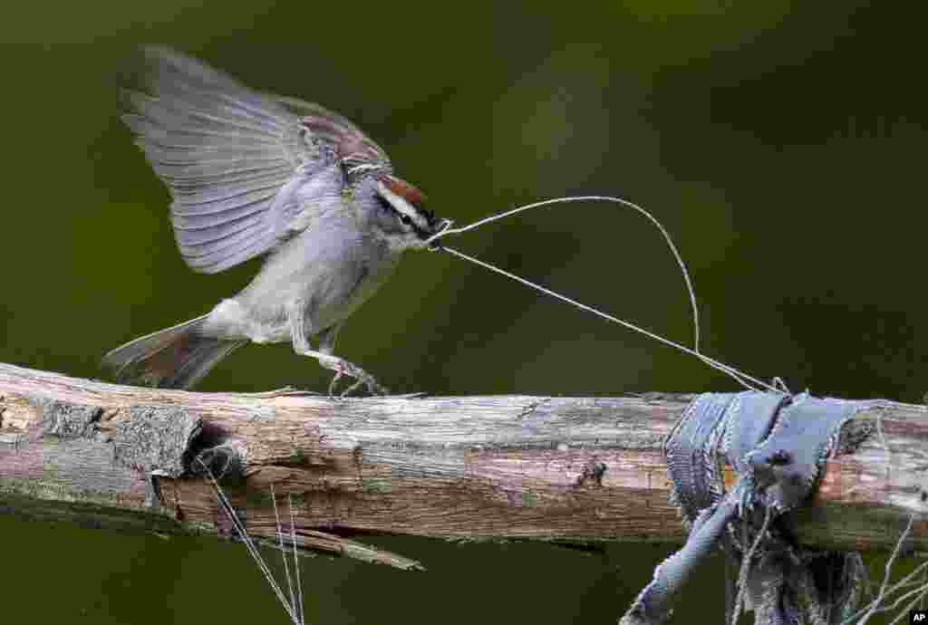 A chipping sparrow tugs on some loose threads of weathered clothing while gathering nest-building materials in a garden in Freeport, Maine, USA.