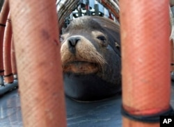 """FILE - In this March 14, 2018, file photo, a California sea lion peers out from a restraint nicknamed """"The Squeeze"""" near Oregon City, Oregon, as it is prepared for transport by truck to the Pacific Ocean about 130 miles away."""