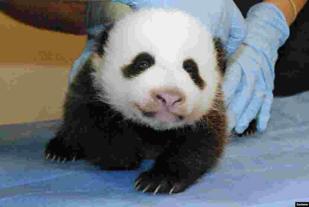 Cachorro panda crece sin complicaciones en el Zoológico Nacional de Washington.