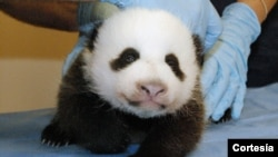 Bebé panda en el Zoológico Nacional de Washington