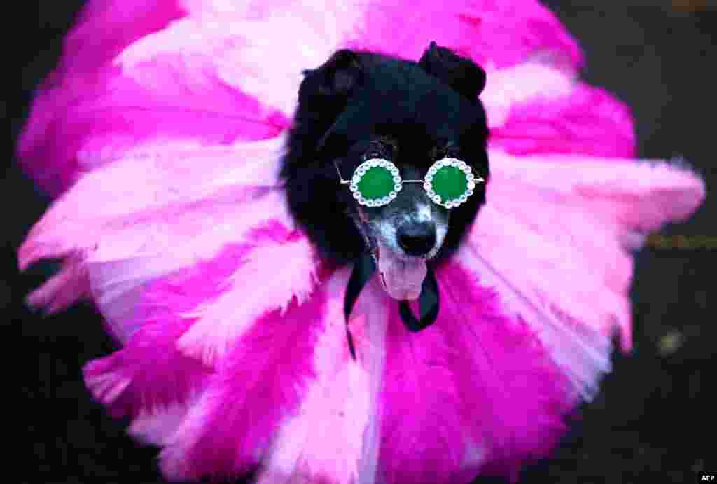 សុនខមួយក្បាលស្លៀកក្នុងសម្លៀកបំពាក់មួយដើម្បីចូលរួមក្នុងពិធីដង្ហែក្បួន Tompkins Square Halloween Dog Parade នៅក្រុង Manhattan នៅក្រុងញូវយ៉ក កាលពីថ្ងៃទី២០ ខែតុលា ឆ្នាំ២០១៩។