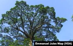 L'arbre moabi dans un village baka dans l'est du Cameroun, le 20 septembre 2021. (VOA/Emmanuel Jules Ntap)