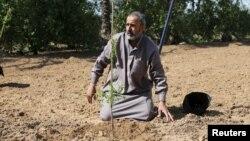 یک کشاورز فلسطینی در حال کاشت نهال بادام
