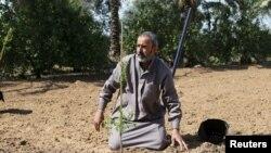 Filistinli bir çiftçi, Kızılhaç'ın dağıttığı badem fidesini toprağa ekiyor