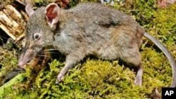 Spesies unik tikus nyaris ompong dengan moncong panjang dan runcing (paucidentomys vermidax) ditemukan di hutan Gunung Latimojong, Sulses (foto: dok).