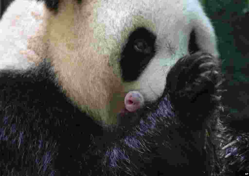 This handout photo released by the Beauval Zoo shows panda Huan Huan holding her new born female cub in Saint-Aignan, central France.A giant panda on loan to France from China gave birth to two female twin cubs, a French zoo announced.