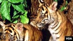 Mladuncad tigra su trenutno najsigurnija u yoološkim vrtovima