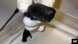 Un requin ''de poche'' (AP)