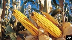 Opponents of genetically-modified crops - like this maize - are suing the USDA for its recent approval of crops they say are likely to cause contamination in organic fields.