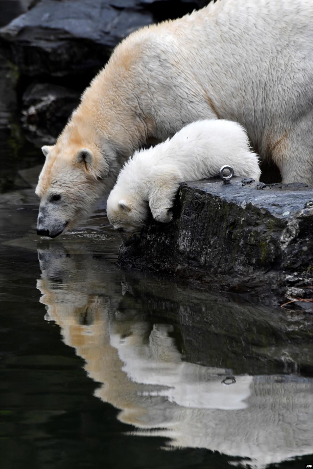 독일 베를린의 동몰원에서 어미곰과 새끼가 물을 마시고 있다.