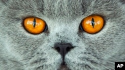 A British Shorthair is judged cat at a cat exhibition in Erfurt, Germany, Sunday, June 2, 2019. (AP Photo/Jens Meyer)