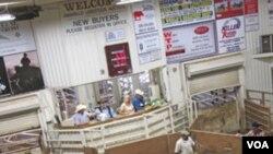 Jumlah hewan yang dilelang ternak di Texas tahun ini meningkat tajam karena banyak peternak sapi terpaksa menjual ternaknya akibat kekeringan berkepanjangan yang melanda bagian selatan Amerika.