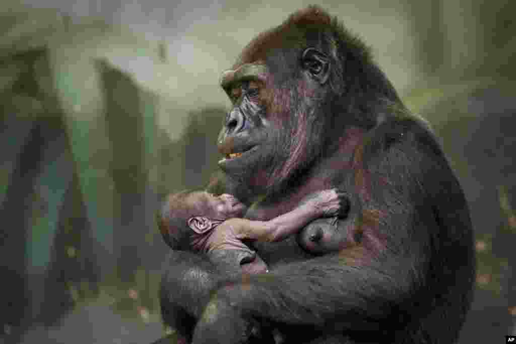 Gorilla Kira holds her baby at Moscow's zoo, Russia, August 4, 2016.