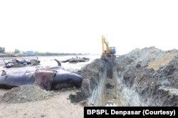 Alat berat menggali lubang untuk kuburan paus pilot yang terdampar di Bangkalan, Madura (Foto: Courtesy/BPSPL Denpasar)