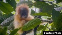 Satu anak orangutan Tapanuli. (Courtesy: YEL-SOCP)