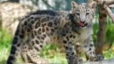 In this Tuesday, Sept. 12, 2017, photo, an endangered snow leopard cub explores it's enclosure the Los Angeles Zoo, in California. (AP Photo/Richard Vogel)