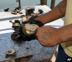 These oysters can't be sold to restaurants or the public due to oil spill safety concerns.