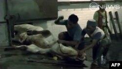 Avustralya Endonezya'ya Canlı Hayvan Satışını Durdurdu