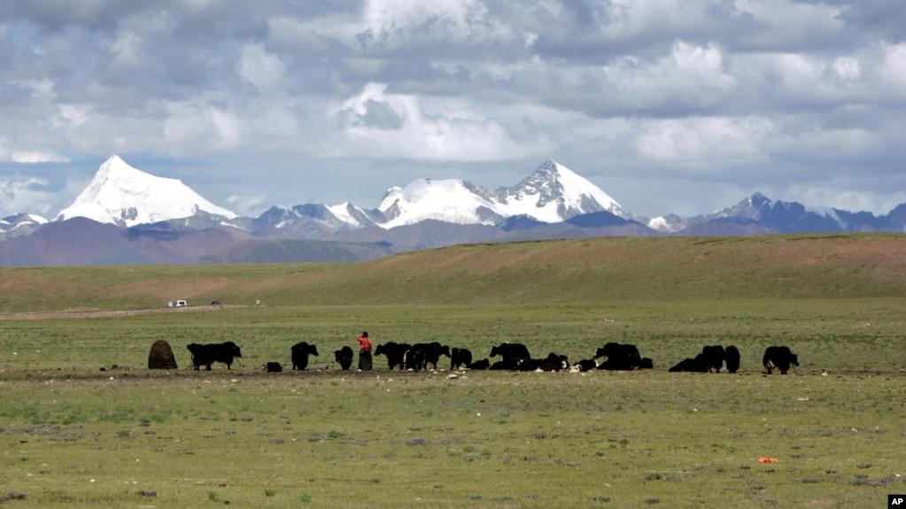 牧民在青藏高原的納曲縣草原牧場上放牧(2006年7月6日)