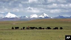 牧民在青藏高原的纳曲县草原牧场上放牧 (2006年7月6日)