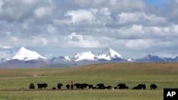 牧民在青藏高原的草原上放牧 (2006年7月6日)(資料照片)