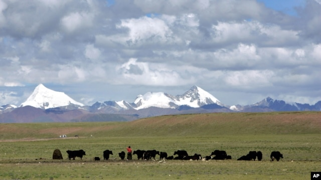 FILE - Herders graze their yak in the grasslands of the high Tibetan Plateau in the county of Naqu, Tibet, China, July 6, 2006.