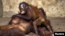 Orangutan berusia dua tahun memeluk ibunya setelah menjalani pemeriksaan kesehatan di Pusat Konservasi Kao Pratubchang di Ratchaburi, Thailand. (Foto: Dok)