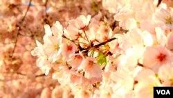 Cherry Blossoms Fest