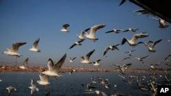 Mòng biển Siberia bay tại Sangam, nơi hợp lưu của sông Hằng và Saraswati thần thoại ở Prayagraj, Ấn Độ. Những con mòng biển này bay hàng ngàn dặm từ Siberi đến Ấn Ðộ để tránh mùa đông lạnh. (Ảnh tư liệu)