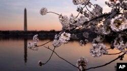 شکوفه های گیلاس هنگام طلوع آفتاب در شهر واشنگتن با یادبود واشنگتن در پس زمینه