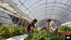 EcoCity Farms grower and builder Adam Schwartz with another volunteer as they harvest spinach. (Alison Klein/VOA)