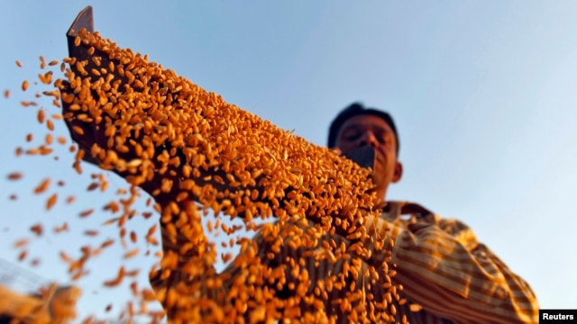 FILE - Farmer sifts wheat crop at a farm on the outskirts of western Indian city of Ahmedabad, March 6, 2013.