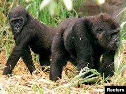 Câu chuyện 13 con khỉ gorilla chết gần một ngôi làng ở Gabon cho thấy những căn bệnh lây lan mới có liên hệ giữa người và động vật.
