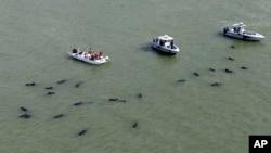 Un grupo de rescate vigila docenas de ballenas piloto mientras estuvieron varadas frente a las costas de Florida.