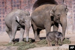 A baby elephant walks together with his family during his first public trip in the Leipzig Zoo in Leipzig, Germany, March 22, 2019. (AP PHOTO)