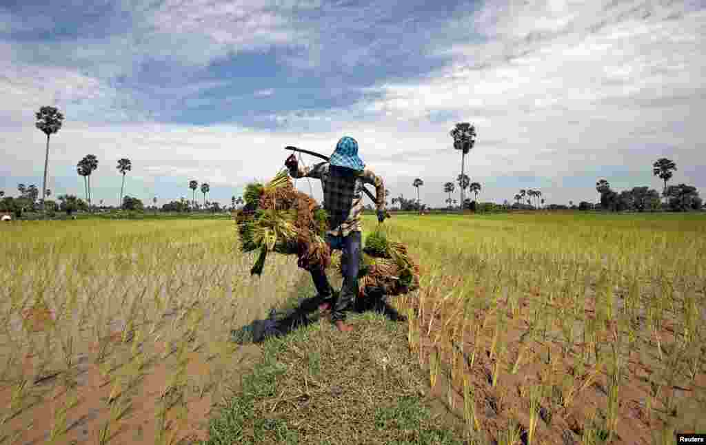 A farmer carries rice seedlings in a paddy field on the outskirts of Phnom Penh, Cambodia.