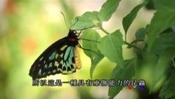 美国专讯:彩蝶飞舞的世外桃源