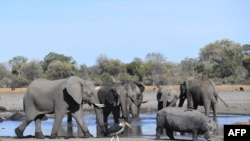 FILE - Elephants drink water in one of the channels of the Okavango Delta near the Nxaraga village in the outskirt of Maun, Sept. 28, 2019.