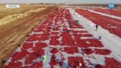 Diyarbakır'da Kuru Domates Tarım İşçilerinin Umudu Oldu