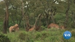 Kenya Has Lost 40 Percent of its Giraffe Population in 30 Years