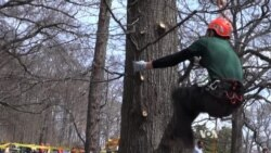 Professional Tree Climbers Showcase Agility, Speed
