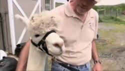 Як заробити на розведенні альпак - розповідь фермерів